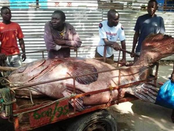 Garoupa apanhada recentemente em Moçambique - (Mocímboa da Praia)