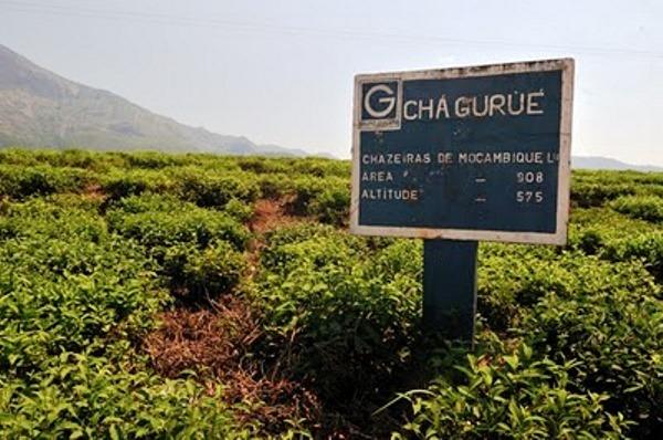 Cha - Gurue