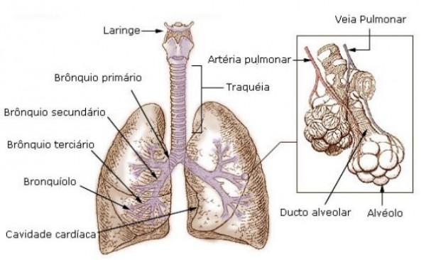 arvore-bronquica